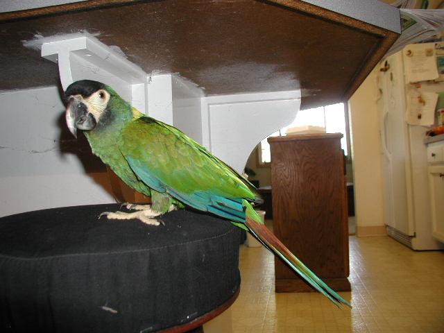 Mini Yellow Yellow Collared Mini Macaw